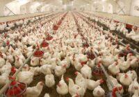 مشکل بازار مرغ، افزایش خرید احتیاطی مردم است یا کاهش تولید؟