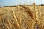 کاهش ۲۱ درصدی خرید تضمینی گندم/ آسیب جدی خشکسالی به تولید